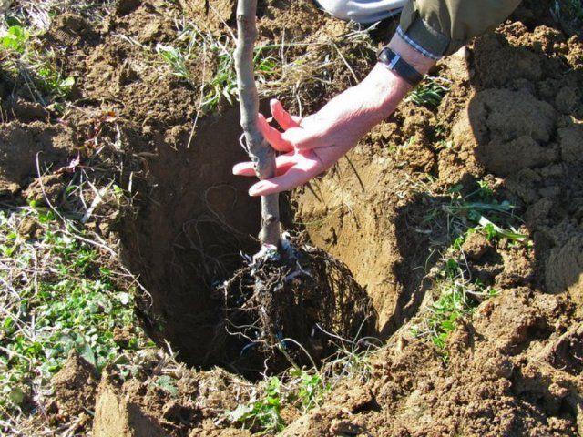 Как и когда правильно сажать плодовые деревья 29