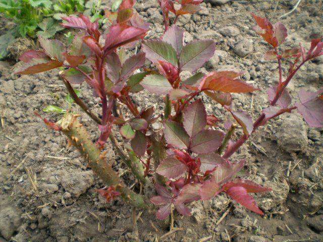 Осенняя посадка роз черенками