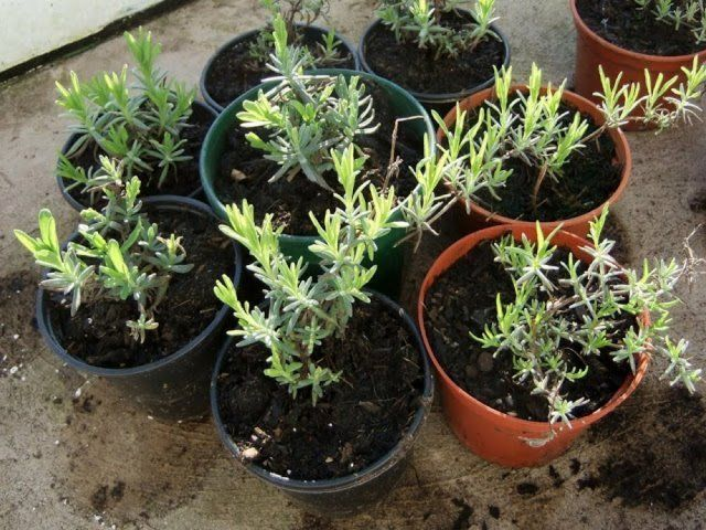 Семена лаванды в домашних условиях 433