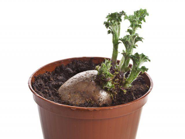 Картофель из ростков