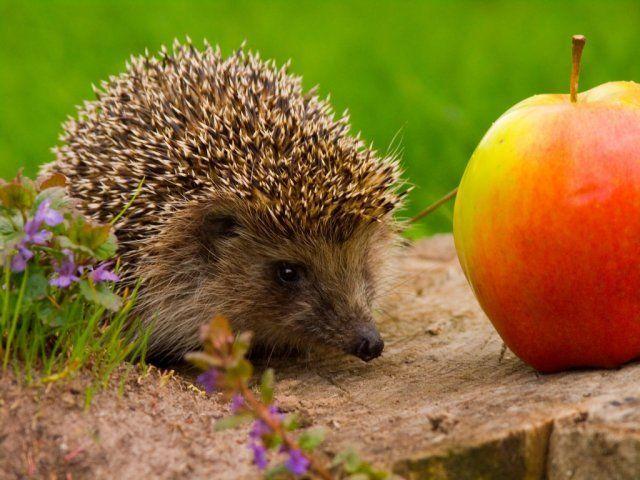 еж и яблоко