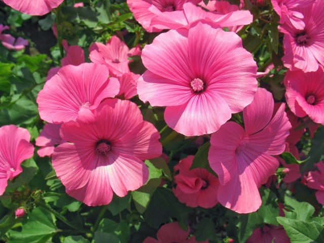 A lot of pink lavatera flowers