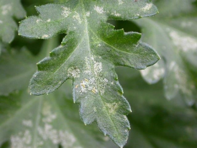 Белокрылка на рассаде томатов: как бороться с насекомым