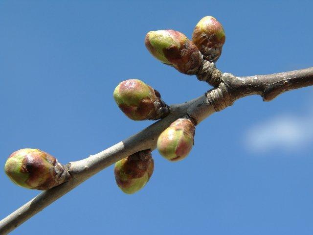 Весенняя подкормка вишни
