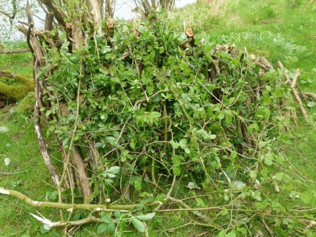 Притенение посадок ветками лиственных деревьев