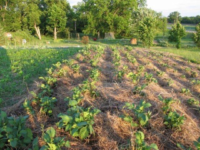 летняя посадка картофеля