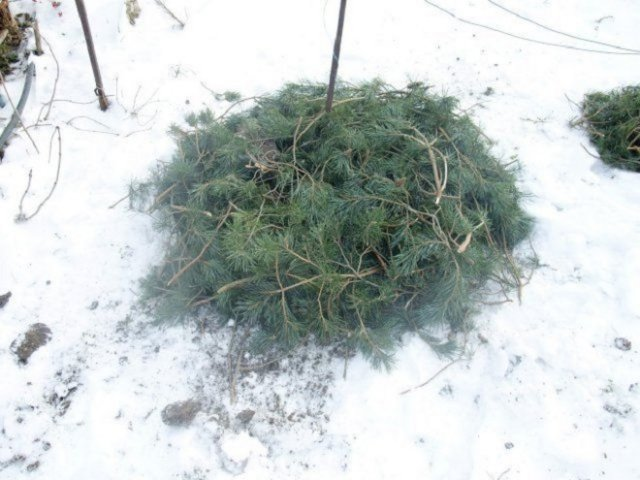 укрытие флоксов на зиму