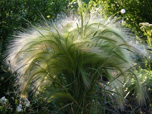 Декоративные травы и злаки для северных регионов ячмень