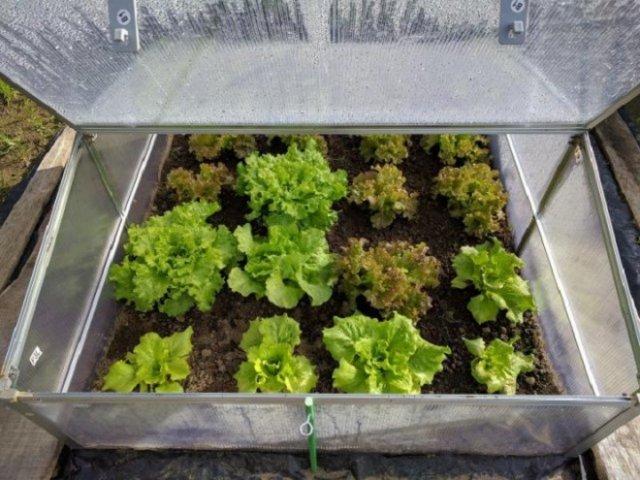 салат латук кочанный виды сорта