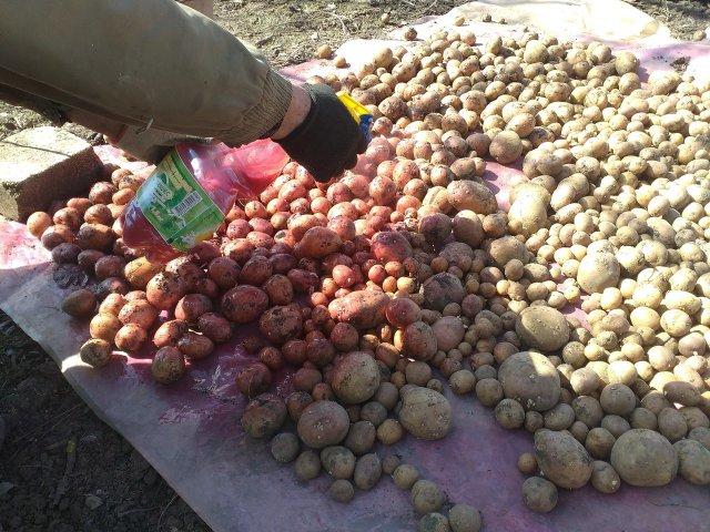 Опрыскивание картофеля