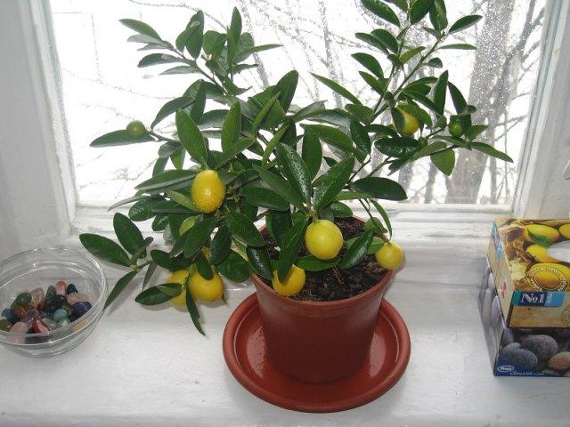 какие цитрусовые выращивают дома