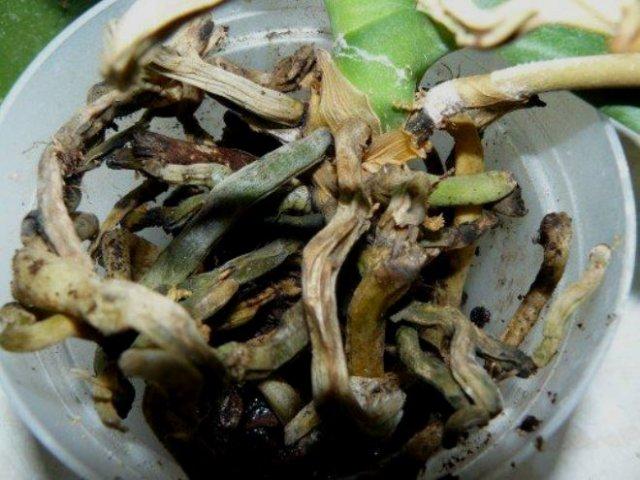 корневая гниль орхидеи фото корни
