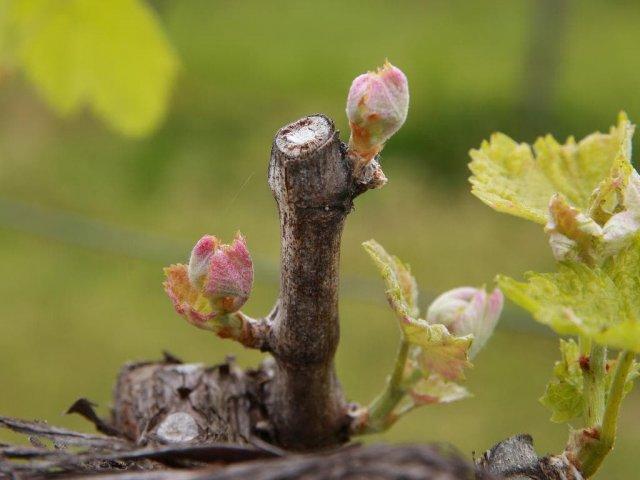 Почки винограда весной