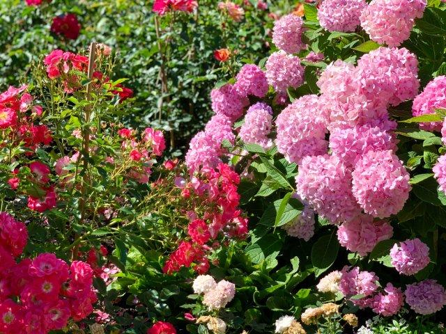 гортензия и розы