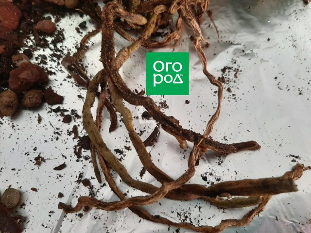 Как спасти корни орхидеи