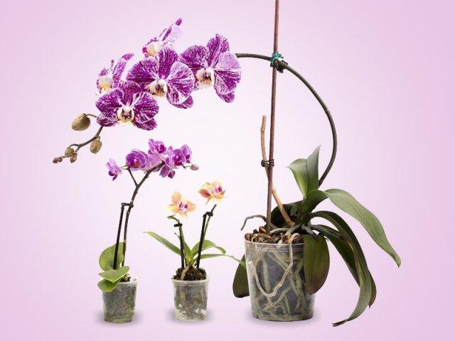 сравнение орхидей