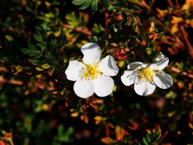 Эбботсвуд – высота 0,8 м; цветы крупные, белые