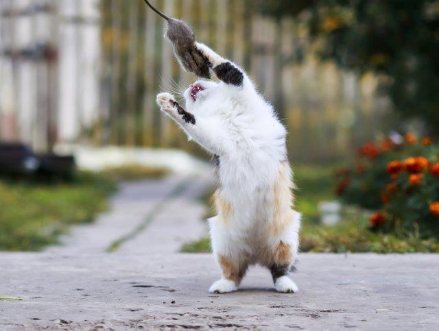 Кошка играет с мышью