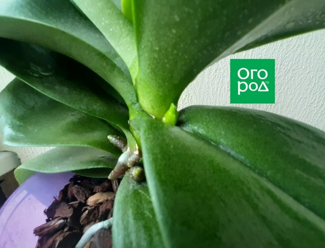 Как отличить цветонос от корня у орхидеи
