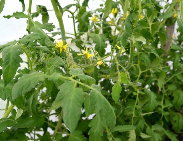 Скручиваются листья у томатов в теплице