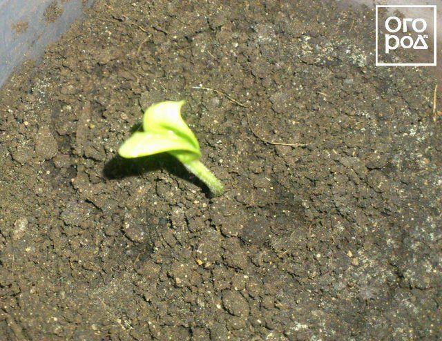 Росток арбуза
