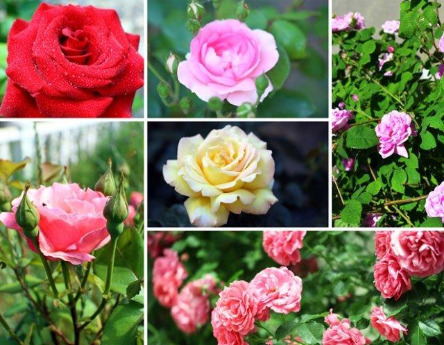 клумба из роз в пастельных тонах с яркими акцентами