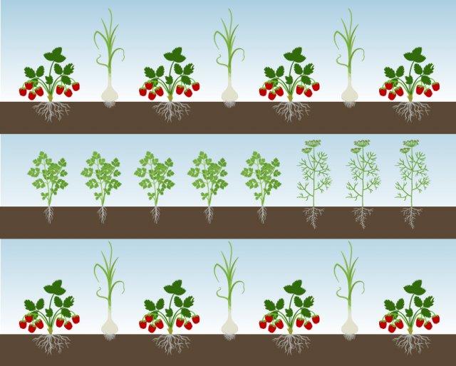 схема уплотненной посадки клубники