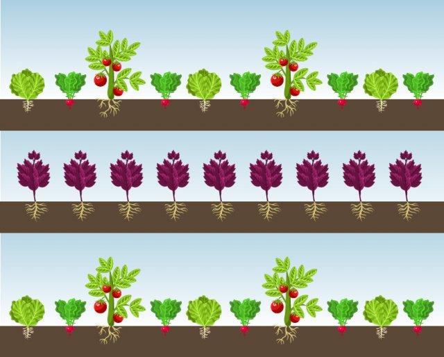 схема уплотненной посадки томатов