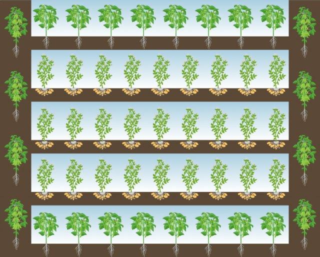 схема уплотненной посадки картофеля