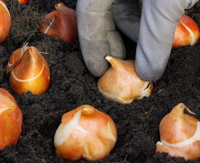 Когда сажают луковицы нарциссов осенью 1