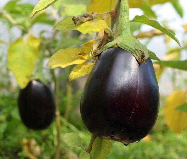 баклажаны температура выращивания в открытом грунте