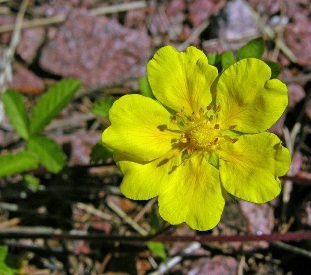 Цветение лапчатки – сорняка с удивительным потенциалом клонирования, хорошо известного всем садоводам