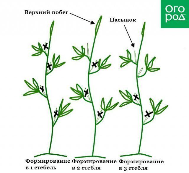 Схема формирования кустов помидоров в один, два и три стебля