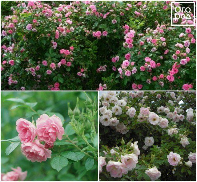 Парковые розы Images%7Ccms-image-000033221