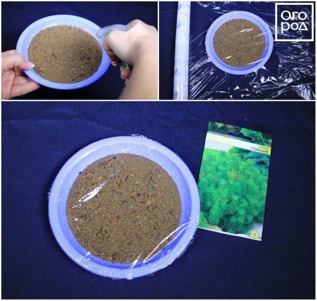 Стратификация семян сосны