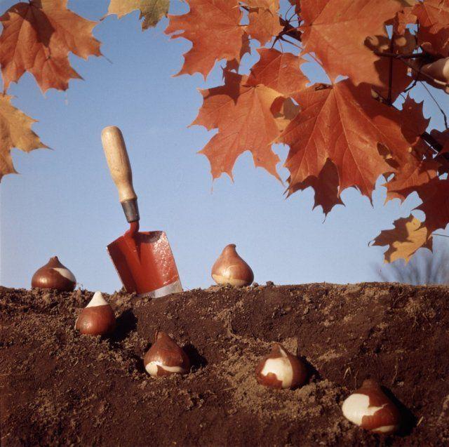 Посадка луковичных осенью