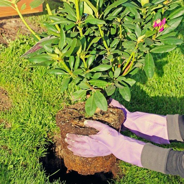 пересаживать куст рододендрона
