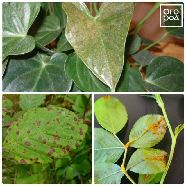 Болезни комнатных растений: грибковые заболевания, описание и фото