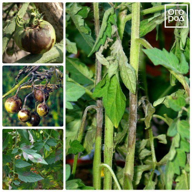 фтофтороз томатов