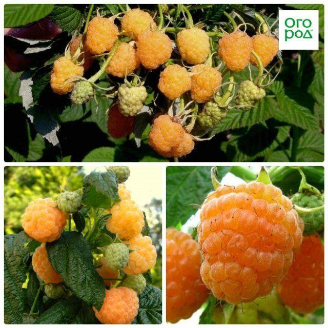 малина абрикосовая