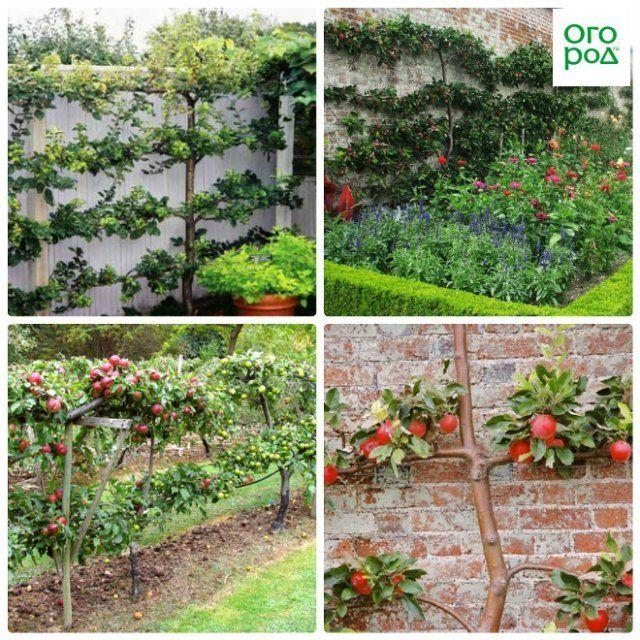 Яблони для выращивания на шпалере 65