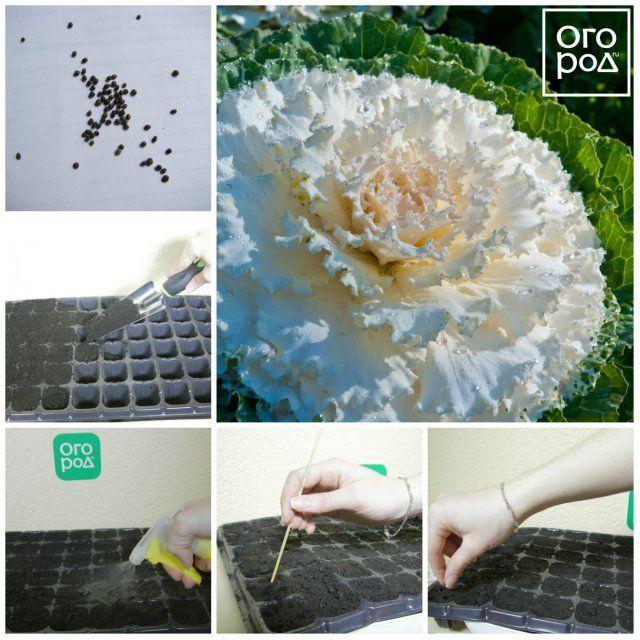 Коллаж - посев декоративной капусты на рассаду