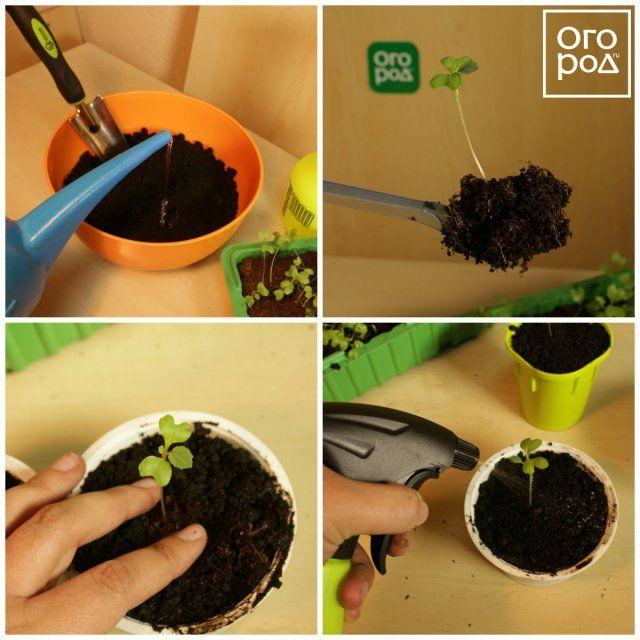 Коллаж - пикировка капусты
