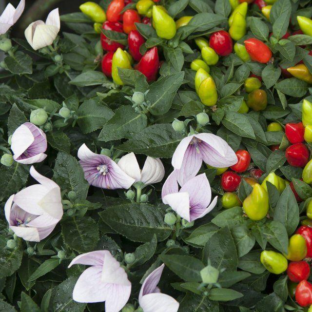 Цветущий и плодоносящий перец
