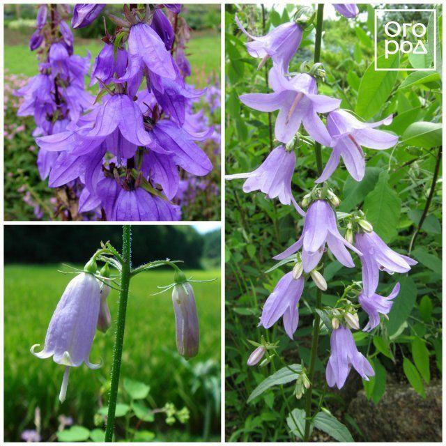 Как называются цветы похожие на колокольчики фото и названия