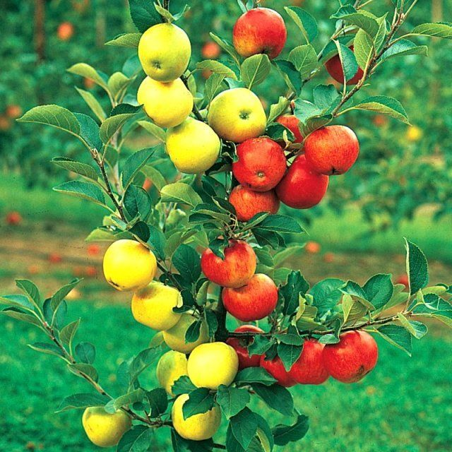 Яблоня с разными сортами