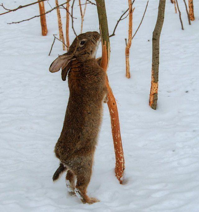 Заяц ест кору дерева