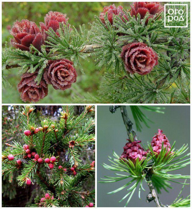 Цветущая лиственница