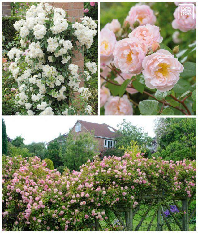 плетистые розы рамблеры
