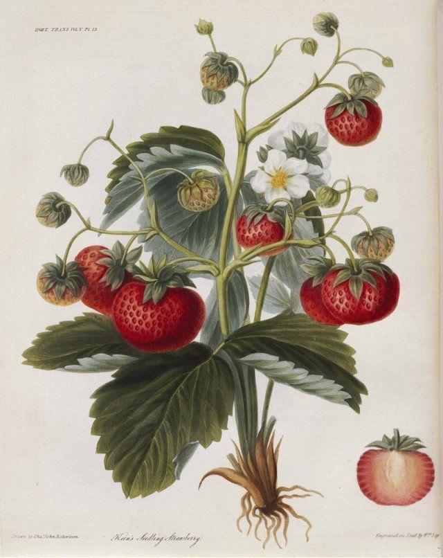 Клубника сорта Keens Seedling 1812 г.